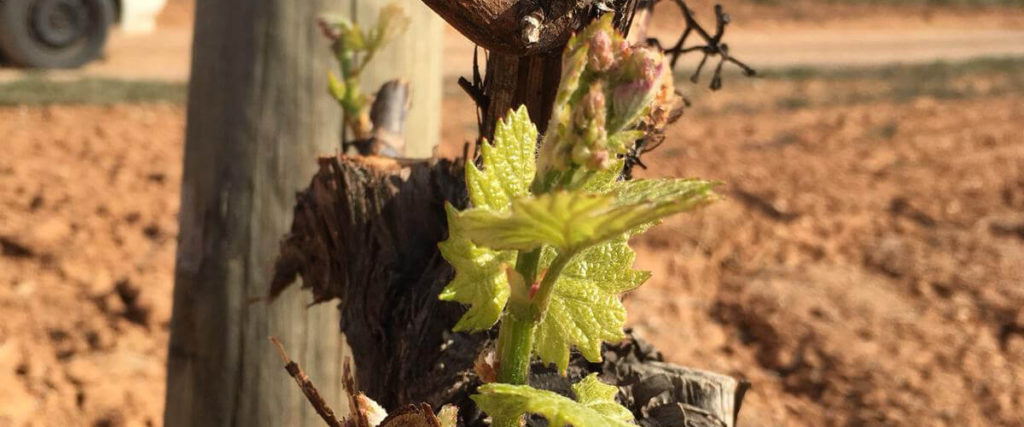 Bud burst on the vine